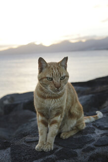 Spain, Lanzarote, Ginger cat sitting on stone - JAT000443