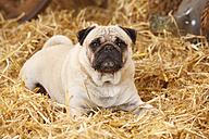 Pug lying at hay - HTF000195