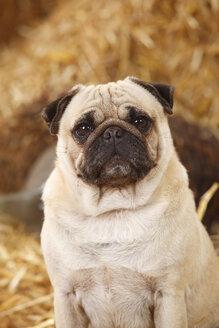 Portrait of pug sitting at hay - HTF000203