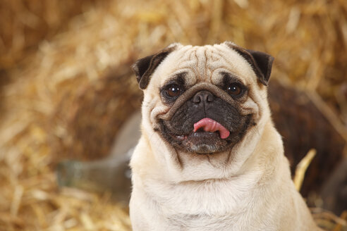 Portrait of pug sitting at hay - HTF000194
