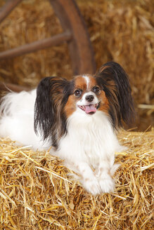 Papillon lying on bale of straw - HTF000204