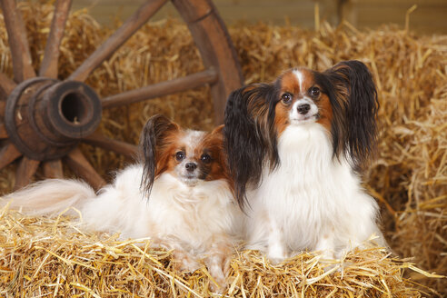 Two Papillons on bale of straw - HTF000202