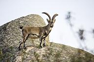 Spain, Madrid, La Pedriza, Spanish wild goat, capra pyrenaica - AMCF000004