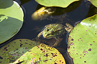 Germany, Munich, botanical garden, frog in pond - TCF003710
