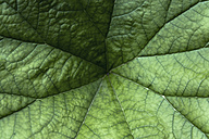 Germany, Munich, botanical garden, umbrella plant, Saxifragaceae, Darmera peltata - TCF003713