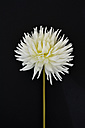 White dahlia (dahlia) in front of black background - AXF000591