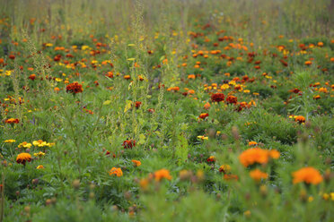 Meadow with red and orange marigolds  (Tagetes erecta) - AXF000581