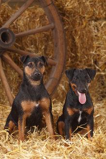 Two German Hunting Terriers sitting at hay - HTF000238