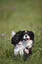 Cavalier King Charles spaniel running in a meadow - HTF000248