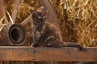 British Longhair, kitten, sitting on a wooden slat in a barn - HTF000262