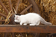 British Longhair, kitten, creeping up on a wooden slat in a barn - HTF000227