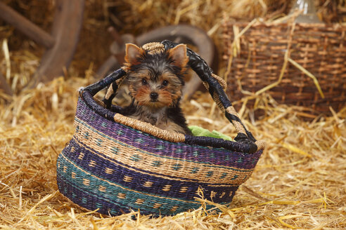 Yorkshire Terrier, puppy, sitting in African basket - HTF000221