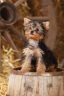 Yorkshire Terrier, puppy, sitting on a tub - HTF000265