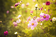 Blossoms of Mexican aster (Cosmos bipinnatus) - MJF000405