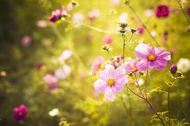 Blossoms of Mexican aster (Cosmos bipinnatus) - MJF000405