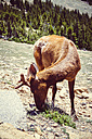 USA, Colorada, elk at Rocky Mountain National Park - MBE000911