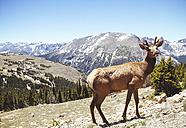 USA, Colorada, elk at Rocky Mountain National Park - MBEF000912