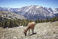USA, Colorada, elk at Rocky Mountain National Park - MBE000914