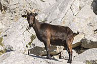 Spain, Cantabria, Picos de Europa National Park, Goat in the mountains - LA000327