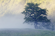 Austria, Upper Austria, Thaya Valley National Park, meadow and trees, fog - GFF000318