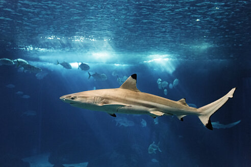 Portugal, Lisbon, Oceanario de Lisboa, aquarium with blacknose shark - BI000145