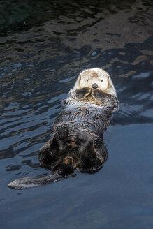Portugal, Lisbon, Oceanario de Lisboa, sea otter (Enhydra lutris) floating in the water - BI000146