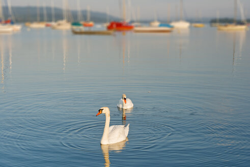 Germany, Baden-Wurttenberg, Allensbach, Swans on Lake Constance - SH001145