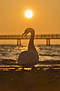 Switzerland, Thurgau, Altnau, Swan in front of jetty at Lake Constance - SH001181