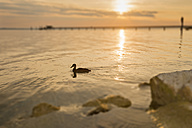 Switzerland, Thurgau, Altnau, Duck in front of jetty at Lake Constance - SH001147