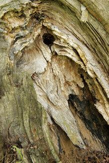 Germany, Brandenburg, Wustermark, detail of tree trunk damaged by storm - VI000080