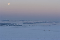 Germany, Rhineland-Palatinate, Eifel, landscape, two deer and full moon in winter - PAF000051