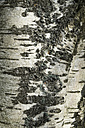 Germany, Baden-Wuerttemberg, detail of a downy birch, birch bark - ELF000682