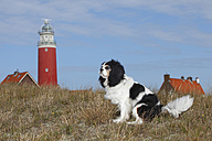 Netherlands, Texel, Cavalier King Charles Spaniel sitting  in front of a lighthouse on a dune - HTF000269
