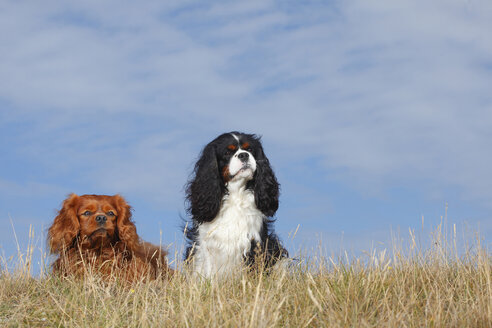 Netherlands, Texel, two Cavalier King Charles Spaniels sitting side by side on a dune - HTF000271