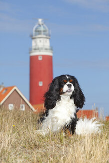 Netherlands, Texel, Cavalier King Charles Spaniel sitting in front of a lighthouse on a dune - HTF000273