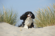 Netherlands, Texel, Cavalier King Charles Spaniel sitting on a sand dune - HTF000274