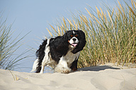 Netherlands, Texel, Cavalier King Charles Spaniel standing on a sand dune - HTF000278