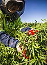 Australia, Carnarvon, Farmer working on chili farm - MBE000969