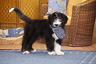 Bearded Collie, puppy, carring slipper - HTF000299
