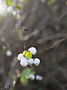 Common snowberry with fuit - HLF000301