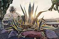 Spain, Lanzarote,Yaiza, Agave Americana in front of landscape - MFF000703