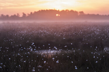 Germany, North Rhine-Westphalia, Recker Moor, Landscape with cotton grass at sunrise - PAF000102
