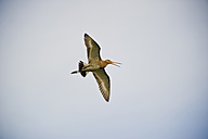 Germany, North Rhine-Westphalia, Recker Moor, Curlew in the sky - PAF000096