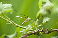 Germany, North Rhine-Westphalia, Recker Moor, Crane fly on twig - PAF000094
