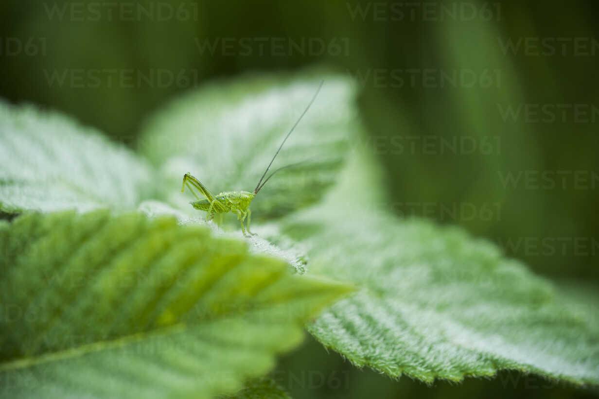 Germany, North Rhine-Westphalia, Recker Moor, Grasshopper on leaf - PAF000093 - Andreas Pacek/Westend61