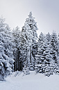 Germany, Thurinigia, Oberhof, Firs in winter - BR000008