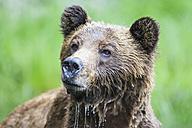 Canada, Khutzeymateen Grizzly Bear Sanctuary, Portrait of a Grizzly - FO005356
