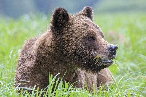Canada, Khutzeymateen Grizzly Bear Sanctuary, Portrait of a Grizzly - FOF005351