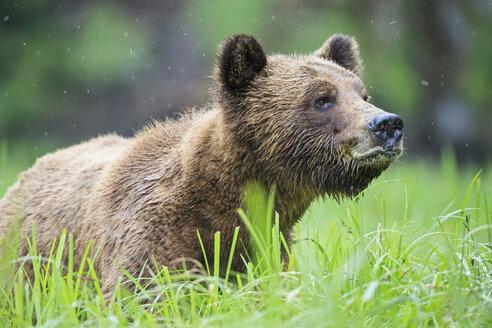 Canada, Khutzeymateen Grizzly Bear Sanctuary, Portrait of a Grizzly - FOF005353