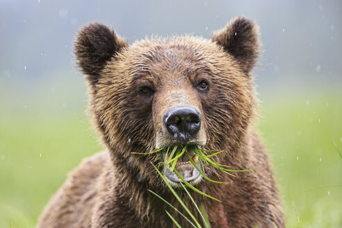 Canada, Khutzeymateen Grizzly Bear Sanctuary, Portrait of a Grizzly - FOF005355